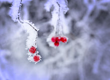 Red berries covered in ice Stock Photography