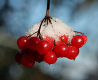 Red berries covered in snow Stock Image