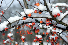 Red berries covered in snow. Close up of red berries on plant covered by winters snow Royalty Free Stock Photography