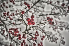 Red Berries. Covered with snow Royalty Free Stock Image