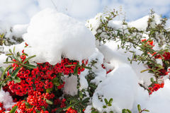 Red berries covered snow. Royalty Free Stock Images