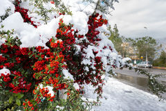 Red berries covered snow. Stock Photography