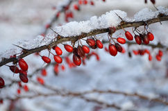 Red berries covered in snow Royalty Free Stock Photos