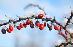 Red berries covered in snow Stock Photo