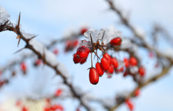 Red berries covered in snow Royalty Free Stock Photo