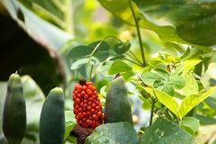 Red berries covered spadix Royalty Free Stock Photo