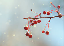 red berries covered with a white cold frost in winter Park Stock Photo