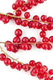 Red berries covering some branches Royalty Free Stock Photo