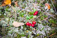 Red berries of a cowberry on bushes. A close up stock photography