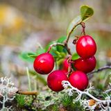 Red berries of a cowberry on bushes. A close up royalty free stock images