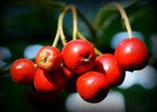 Red berries in denmark. Red berries growing in denmark in autumn Stock Photo