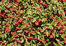 Red berries in an evergreen bush Royalty Free Stock Image