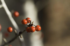 Red Berries in the fall Stock Photography