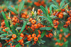 Red berries of firethorn plant Pyracantha Coccinea. Scarlet firethorn with ripe orange berries / Pyracantha coccinea stock photo