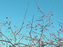 Red berries on the fluttering branches of trees against the blue sky.  stock photo