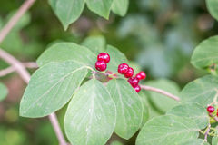 Red-berries in the forest Royalty Free Stock Images