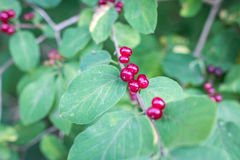 Red-berries in the forest Stock Photography