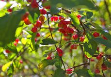 Red berries in the forest stock images