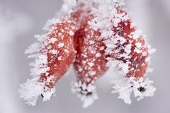 Red berries with frost and ice Stock Photo