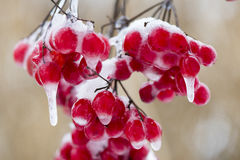Red berries with frost and ice Stock Images