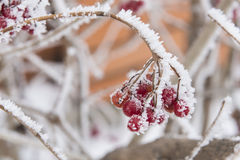 Red berries in frost Stock Images