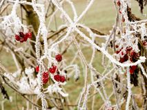 Red berries frosted by the cold of winter. Branche in nature Royalty Free Stock Photos