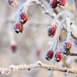 Red berries on the frozen branches Royalty Free Stock Photo