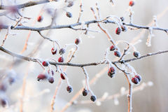 Red berries on the frozen branches Royalty Free Stock Photography