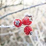 Red berries on the frozen branches Stock Photo