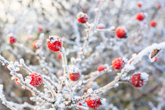 Red berries on the frozen branches. Winter background, red berries on the frozen branches covered with hoarfrost Stock Photos