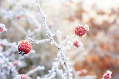 Red berries on the frozen branches. Winter background, red berries on the frozen branches covered with hoarfrost Stock Images