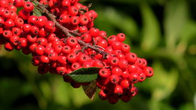 Red berries, green blurred background stock video