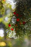 Red berries on a green branch shine through the sun in Venice, Italy royalty free stock photos