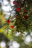Red berries on a green branch shine through the sun in Venice, Italy stock photos