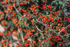 Red berries on green bush. Background royalty free stock images