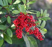 Red berries with green follage royalty free stock photos