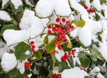 Red berries and green leafs covered with snow. Red berries on a tree covered with first snow Royalty Free Stock Photos