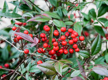 Red berries on green leafy bush. Bright red berries ripe on winter green shrub with leafy branches. Outdoors Royalty Free Stock Image