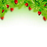 Red berries and green leaves Royalty Free Stock Photos