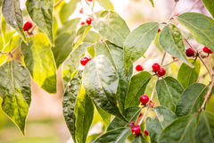 Red Berries on Green Leaves Royalty Free Stock Image