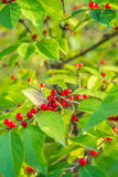 Red Berries on Green Leaves Stock Photography