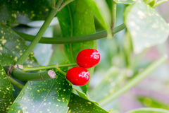 Red berries green leaves depth of field Royalty Free Stock Photo