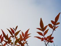 Red leaves. Garden plants nature sky beauty Stock Image