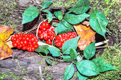 Red Berries and Green Leaves. Red berries lying among green and colored leaves stock photos
