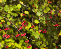 Red berries and green leaves Stock Photo
