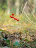 Wild berries in the woods Royalty Free Stock Photography