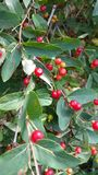 Red Berries. These are red berries growing on a green leafy tree royalty free stock photography