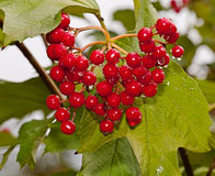 Red berries of a guelder-rose. With waters drops after the rain Royalty Free Stock Photos