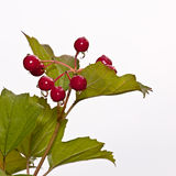 Red berries of a guelder-rose. With waters drops after the rain Royalty Free Stock Photo