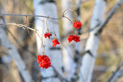 Red berries of a guelder-rose Royalty Free Stock Images